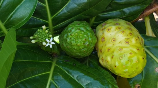 Hawaiian Organic Noni Farm: 20170503_115555_large.jpg