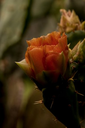 Alpine, Teksas: Prickly pear cactus flowes