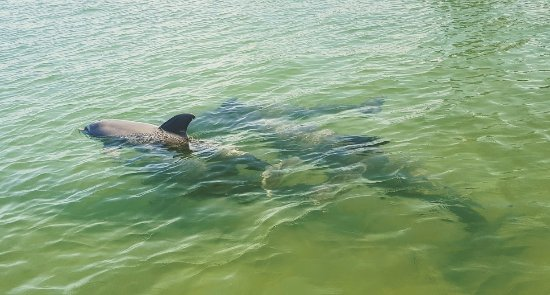 Cortez, FL: Dolphins swimming in the shallows. We see dolphins a lot!!