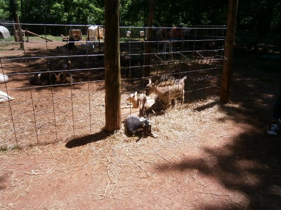 Split Creek Farm: Baby goats - some out side the pen for easy petting