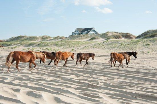 Carova Beach: Wild Spanish Mustangs Crossing the Beach