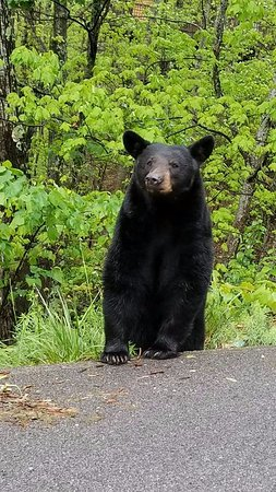 The Summit of Gatlinburg: Mama Bear a frequent visitor