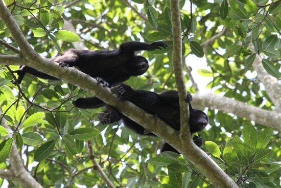 Punta Gorda, Belize: Unforgettable howler monkeys!