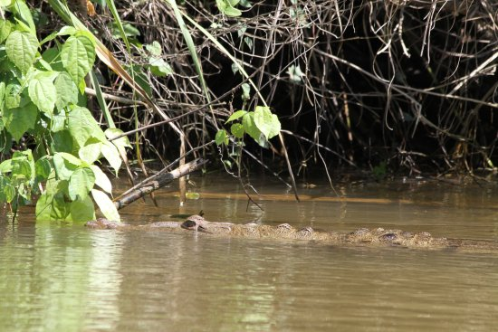 Punta Gorda, Belize: Alligators and nature watching on our river tours