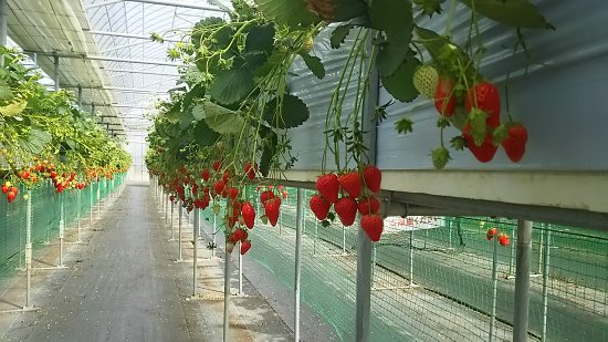 Gourmet Strawberry Kan Maeda