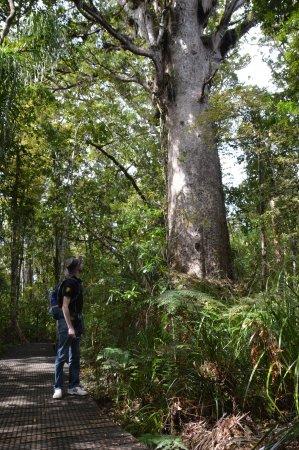 Balade à la Waipoua forest