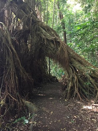 Atherton, Australia: The walking path is so Fern Gully