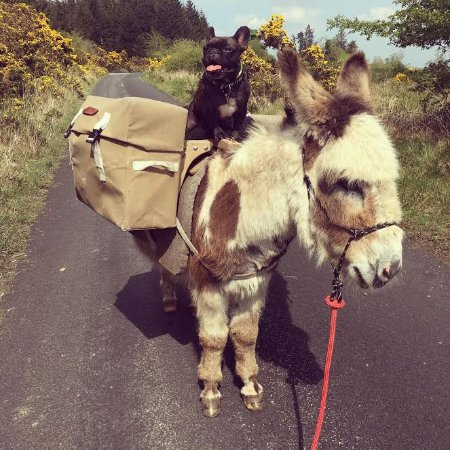 Loughrea, Irland: Griff the French Bulldog atop John William the donkey.