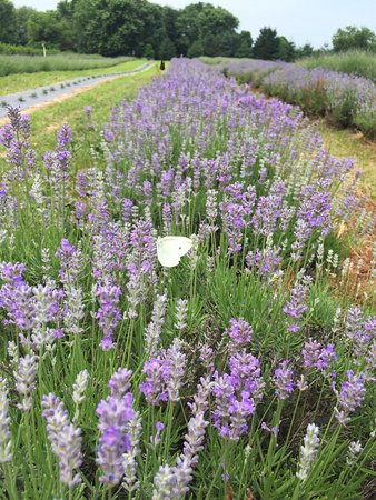 Millington, MD: Butterflies and lavender