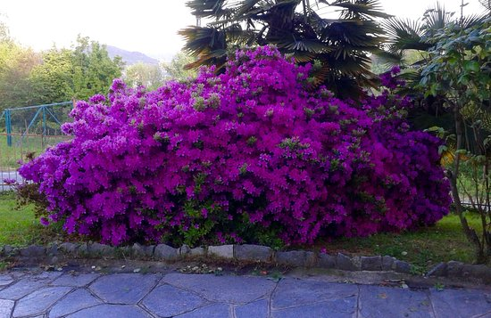 Nebbiuno, Itália: Big azalea in our garden