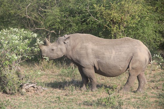 Devon, UK : Thorny Bush Safari - Rhino
