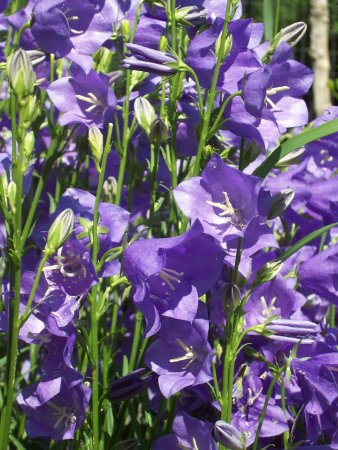 Take Your Pick Flower Farm: balloon flowers