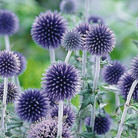 Take Your Pick Flower Farm: Echinops ripe for the picking.  These flowers also dry nicely.