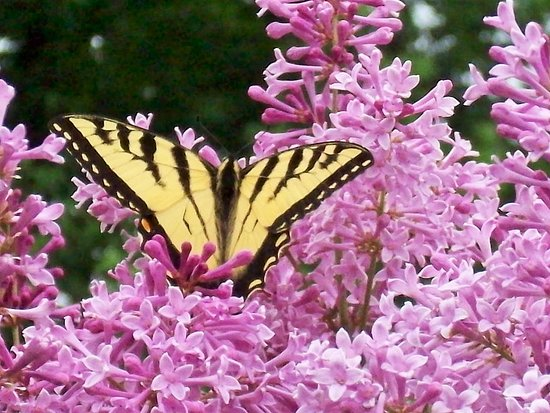 Take Your Pick Flower Farm: Nature in action!  Butterfly on the lilacs.