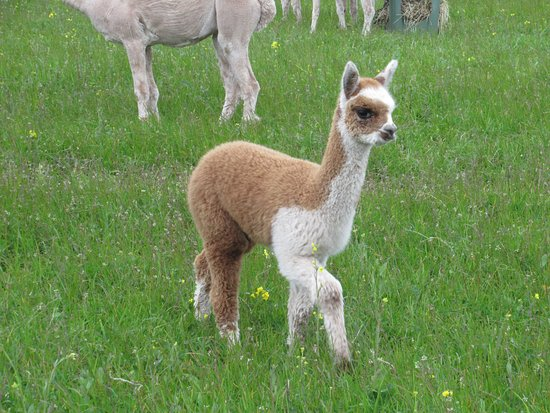 Baby Alpaca Picture Of Charnwood Forest Alpacas
