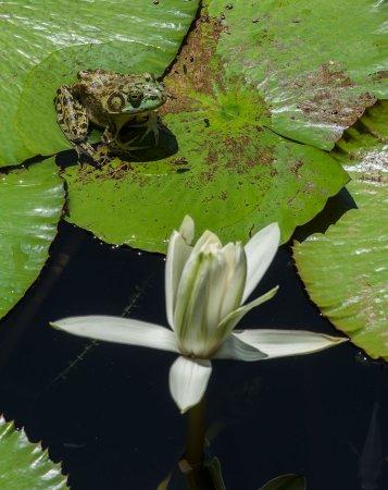 Allerton Garden: Frog on Lotus Flower Pad
