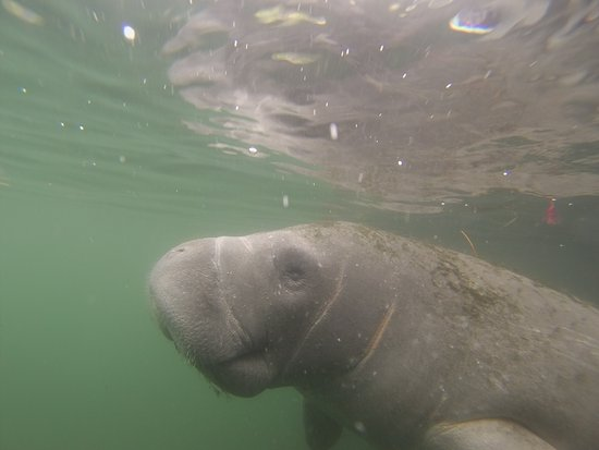 Fun 2 Dive: A wonderful encounter with a manatee.