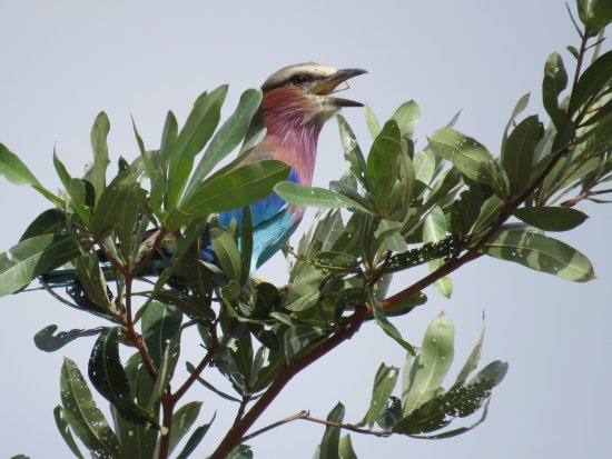 Savanna Private Game Reserve : Lilac breasted Roller