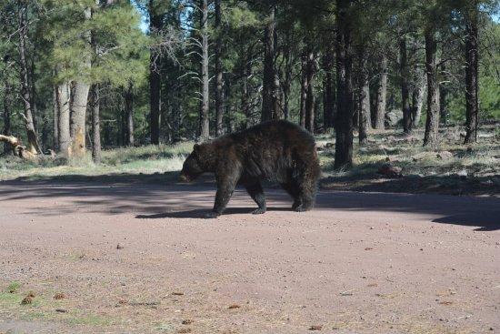 Williams, AZ: bear crossing