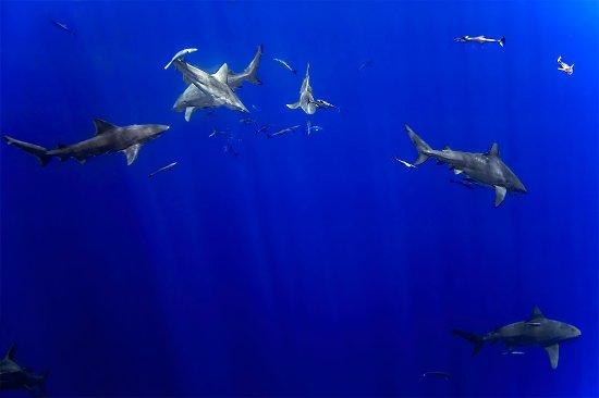 Jupiter, FL: pack of sharks