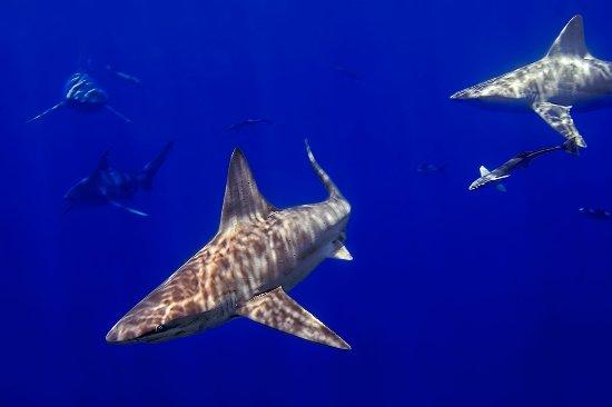 Jupiter, FL: Bull sharks