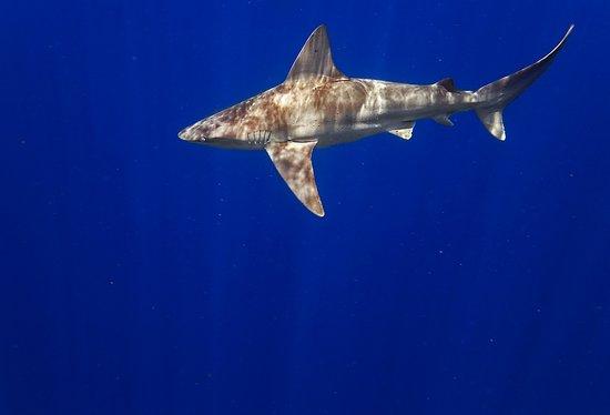 Jupiter, FL: sandbar shark