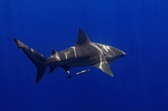 Jupiter, FL: bull shark