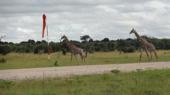 Savute Safari Lodge: Shoo the giraffes from the airstrip.