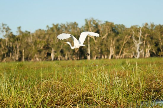 Mary River National Park, Australië: BAMURRU PLAINS GREAT EGRET