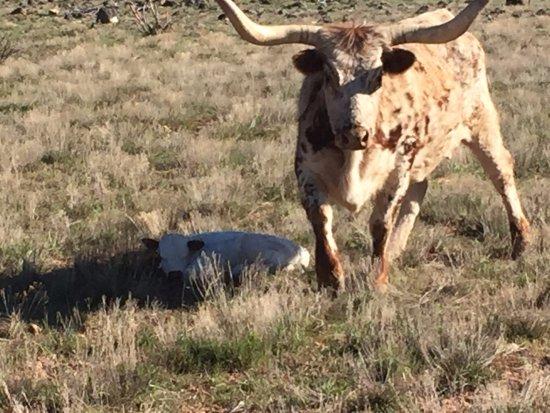 Cedar City, UT: The birth of our longhorn bull