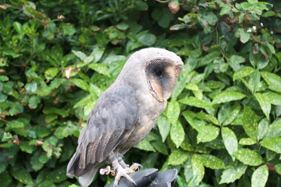 "North Walsham, UK: Meet our melanistic Barn owl ""Dusk"""