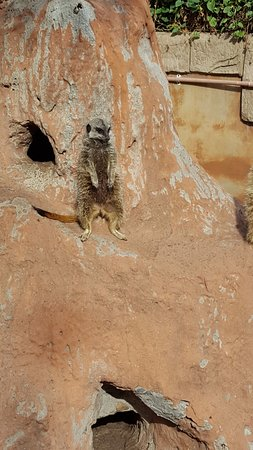 Klapmuts, South Africa: Meerkat