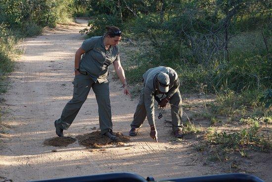 Royal Malewane: Noelle & Shadrack tracking female Leopard (we found her)