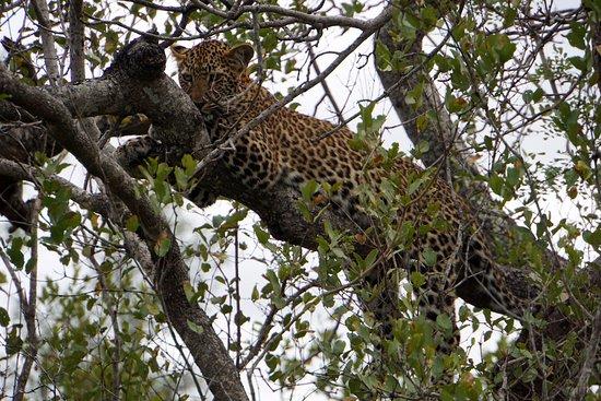 Royal Malewane: Leopard
