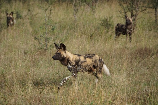 Royal Malewane: Wild Dogs