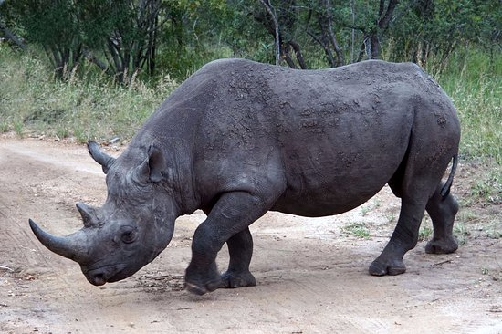 Royal Malewane: Black rhino