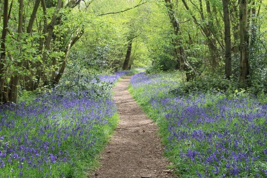 Reepham, UK: Surrounded by bluebells