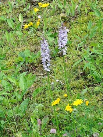 Thann, فرنسا: Les orchidées sauvages