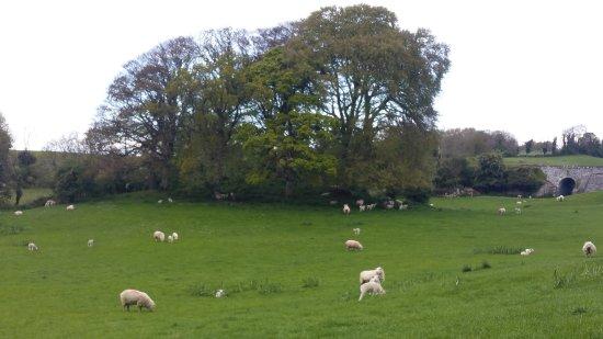 Quin, Irlanda: sheep and baby lambs