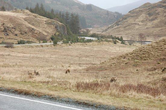 Glenmoriston, UK: Red deer nearby