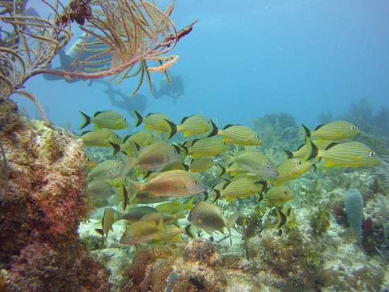 Yellow fish at snapper 39 s ledge picture of rainbow reef for Yellow rainbow fish