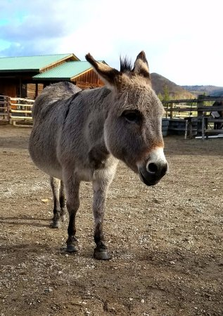 Clark, CO: Poncho, our miniature burro