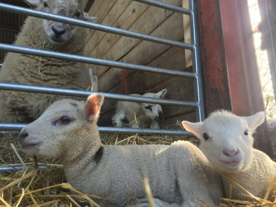Walkers Farm Cottages: Friendly sheep to meet