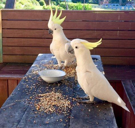 Huskisson, Australia: wild local visitors