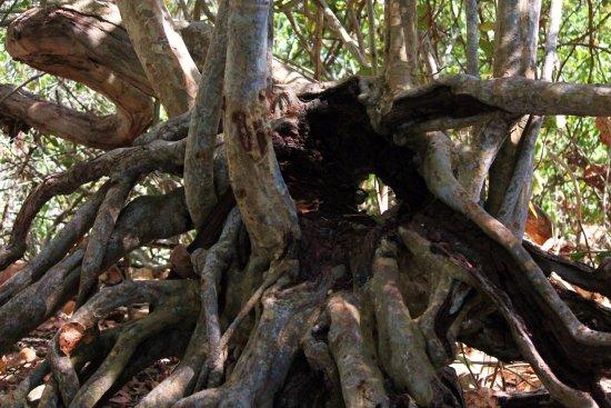 Palmetto, FL: Interesting tree trunk