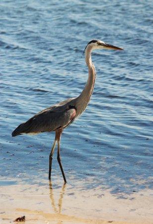 Palmetto, FL: Great Blue Heron