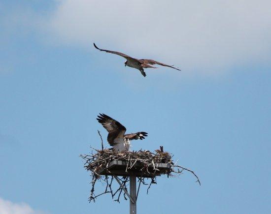 Palmetto, FL: Osprey Nest