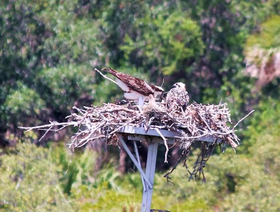 Palmetto, FL: Osprey mom and chick
