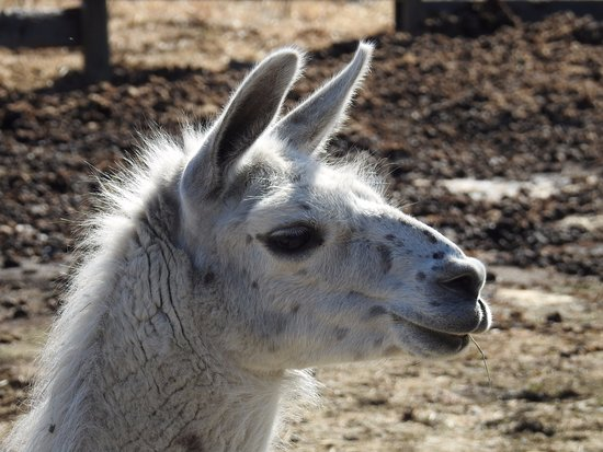 Faro, Canadá: One of the llamas at the farm.