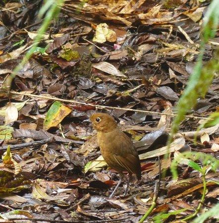 Rufous ANTPITTA, taken around Cloud Forest - MANU
